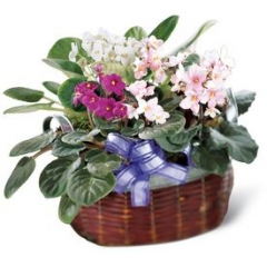 Assorted colors of African Violets are grouped together to create this lovely, long-lasting garden. Colors and containers may very. Also available in single or double plants if you have a smaller budget.