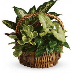 Perfect for the home or office, this blend of green plants is suitable for any occasion. Many sizes and price points are available.  Call for more information.