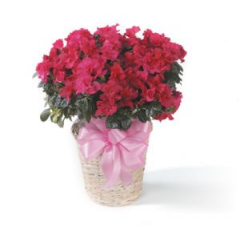 Our Azaleas Come In Every Week From The Coast. Pictured Is an Azalea In a Basket, We Can Also Wrap The Azaleas For $52.95 And we also Carry Tree Azaleas Starting At $95.95. The Perfect Remembrance.