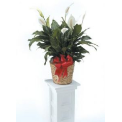 One Of Our More Forgiving Plants Is The Peace Lily. Perfect For The Person Who Just Might Forget To Water Them.