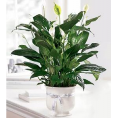 Offer comfort and loving thoughts with our white ceramic planter that holds an elegant peace lily plant. This hardy plant will make a lasting living memorial.  **will be in a green ceramic**