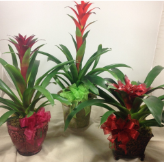 WANT TO SEND SOMETHING DIFFERENT, THESE BEAUTIFUL BROMELIADS ARE SURE PERFECT FOR ANY OCCASION
