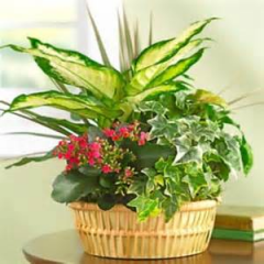 Lush green plants combined with colorful blooming plants are the perfect long-lasting gift for Dad.