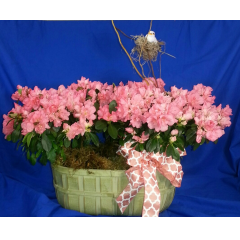SPECIAL!!!!! DOUBLE BUSHEL BASKET WITH BEAUTIFUL AZALEA PLANTS CURLY WILLOW, BIRD WITH NEST MATCHING BOW  ORDER NOW, THEY WILL GO FAST
