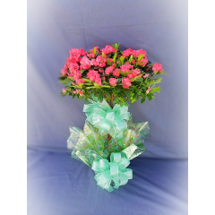 "Tree Azaleas are an unusual specimen blooming plant. They stand approximately 30"" tall and add a burst of color to any setting. They make wonderful gifts for a house warming or grand opening and are always treasured living memorial for a loved one."