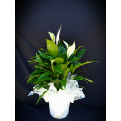 larger peace lily in a basket with a ribbon and deco