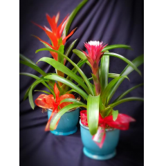 "ARE YOU SHOPPING FOR  SOMEONE WHO APPRECIATES SOMETHING UNUSUAL AND DIFFERENT? EXOTIC BROMILIAD PLANTS ARE THE PERFECT GIFT. THEY ARE VERY HARDY AND VERY LOW MAINTENANCE. APPROXIMATELY 15"" TO 18' TALL AND IN A CERAMIC CONTAINER."