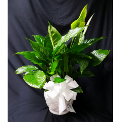 "This is a larger peace lily (approximately 30""tall) It is displayed in a white ceramic container and embellished with a white ribbon. A wonderful gift for a Commercial business grand opening, a house warming gift or as a living sympathy tribute."