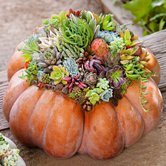 What a beautiful way to celebrate all of the fall glory! Join us as we take hardy succulents and plant them in a fall pumpkin to create a unique centerpiece or holiday accent for your home!
