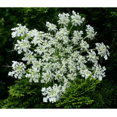 A bunch with 10 stems of Queen Anne's Lace