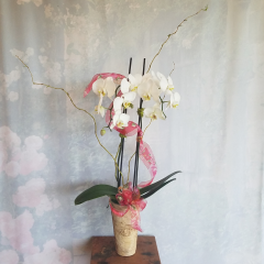"Make an impression with a stately, elegant orchid plant displayed in a birch bark container. The long lasting blooms will give enjoyment for weeks and weeks to come. Approximately 30"" to 32"" tall."