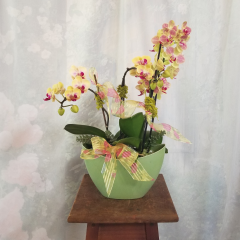 Thank your employees with a contemporary planter filled with  phalaenopsis orchid plants. This makes a beautiful display for a  desk or cubical. Easy care and requires  very little water. Overall height is approximately 15 to 18 inches tall. Care instructions are  included