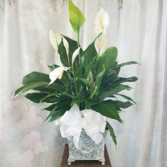 "larger peace lily in a metal container with a ribbon and deco. Over all height is approximately 24"" to 30"" tall."