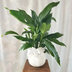 Offer comfort and loving thoughts with our white ceramic planter that holds an elegant peace lily plant. This hardy plant will make a lasting living memorial.