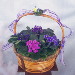 A beautiful collection of African Violets nestled in a large heavy wicker basket.
