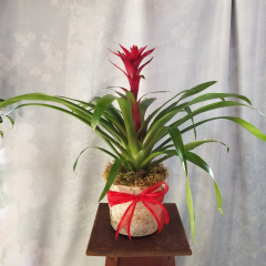 When you want a plant that is hardy and interesting to grow the Bromeliad plant is a perfect choice! These plants come in many colors and bloom structure. A great gift for a man or a woman for any special occasion.