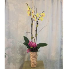 Our beautiful selection of orchids add a touch of elegance to any office or home! **containers may vary**