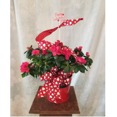 """6"""" azalea in a festive metal container with ribbon treatment and pick. Approx. 14""""H x 15""""W ***Colors of plant and ribbon may vary**"""