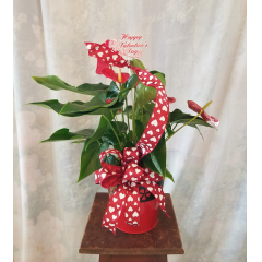 """Send something a little different with an Anthurium Plant that has heart shape leaves and blooms in a metal container, valentine's ribbon treatment. Approx 21""""H x 19""""W"""