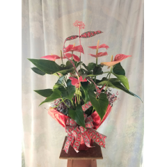 """Beautiful Anthurium Plant wrapped with Valentine's Ribbon and pick. Approx.29""""H x 27""""W"""
