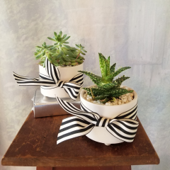 "Our cute little trendy Fresh, living succulents in a modern white ceramic container with striped ribbon. Approx. 7""H x 4""W **Style of succulent may vary**"