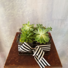 "Fresh, living succulents is a modern look. Wire container that has 4 individual real succulent inside adorned with a striped ribbon. Approx. 4""H x 7"" W **Succulents may vary depending on availability**"