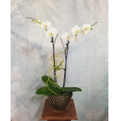 "Stunningly beautiful is the only way to describe these one of a kind Phaleonopsis and Tillandsia air plant sculptures! This is a Log Cabin Florist original design and no two are exactly alike. Let our creative, talented staff create a living sculpture just for you! Approx 29""High"