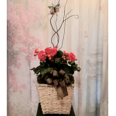 """Beautiful Begonia in a white wash basket with bow for an added touch. Approx. 19"""" High"""