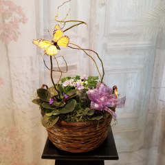 """Living african violets nicely arranged in a basket. A lovely presentation for a person who enjoys caring for and growing living plants. Approx. 9""""H  (not including the curly willow and butterfly height)."""