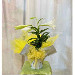 Nice Easter Lilies are perfect for the holidays