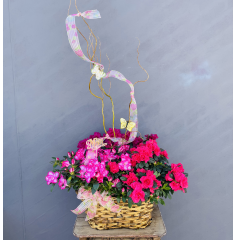 "Three lush azalea plants in a basket will brighten Mom's day and giving her a living plant to enjoy for an extended amount of time. She can even plant them outside to enjoy for years to come! Approx 36""H including curly willow x 23""W. ***Colors of plant may vary depending upon availability***"
