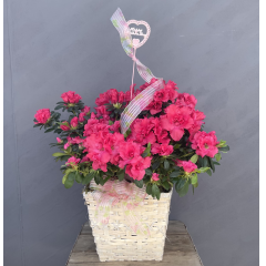 "Beautiful 8"" azalea in a white basket adorned with pretty ribbon ***Approx. 22""H*** Colors may vary"
