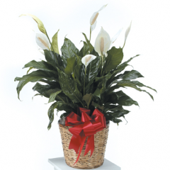 DiBella Flowers & Gifts Las Vegas - Peace Lily Plant Hardy and lush, this  Peace Lily plant is a prefect was to show your sentiment.  ** note in special instruction if you would like to change the color of bow