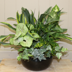 DiBella Flowers & Gifts Las Vegas - Dish Garden- Large This mixed easy care Garden is perfect for a desk or kitchen counter top. In a black toned ceramic dish. Plant types may vary.