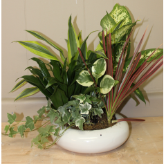 "DiBella Flowers & Gifts Las Vegas - Easy care mixed green plants a ceramic dish. Perfect for saying ""Thank you"" or ""Get well soon""! *Color of dish may vary depending on availability*"