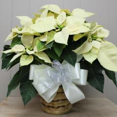 DiBella Flowers & Gifts Las Vegas - White Poinsettia - 6inch Gorgeous full white poinsettias available!