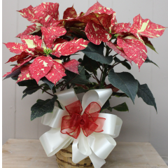 """DiBella Flowers & Gifts Las Vegas - Jingle Bell Poinsettia - 6 inch Speckled red and white """"Jingle Bell"""" poinsettia!"""