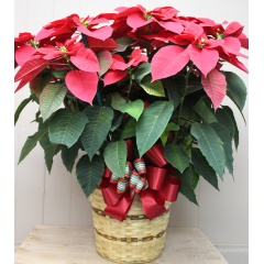 DiBella Flowers & Gifts Las Vegas - Red Poinsettia - 8 inch Big and full, this beautiful red poinsettia is set in a wicker basket with festive holiday trim.