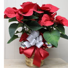DiBella Flowers & Gifts Las Vegas - Red Poinsettias 6 inch Deluxe One of our beautiful Poinsettias with deluxe satin ribbon and ornaments.
