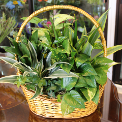 DiBella Flowers & Gifts Las Vegas - Basket Garden - Large Perfect for any occasion, this lush mixed basket of green and blooming plants is a beautiful way to express your sentiment.  ** plant types may vary