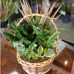 DiBella Flowers & Gifts Las Vegas - Basket Garden - Petite Perfect for an occasion, this lush mixed basket of green and blooming plants is a beautiful way to express your sentiment.  Suitable for a desktop. ** plant types may vary