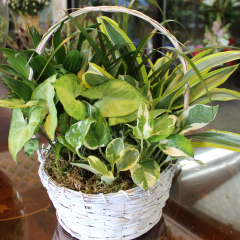DiBella Flowers & Gifts Las Vegas - Basket Garden - Medium Perfect for any occasion, this lush mixed basket of green and blooming plants is a beautiful way to express your sentiment.  ** plant types may vary