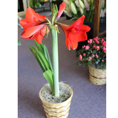 DiBella Flowers & Gifts Las Vegas - Amaryllis Double Bloom Gorgeous double blooming Amaryllis. Available for only a short time.
