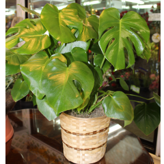 DiBella Flowers & Gifts Las Vegas - Split Leaf Philodendron Lush and full, these hardy plants are good for any occasion.