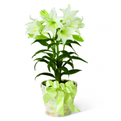 DiBella Flowers & Gifts Las Vegas - Fresh Easter Lilies! *Basket color and trim my vary