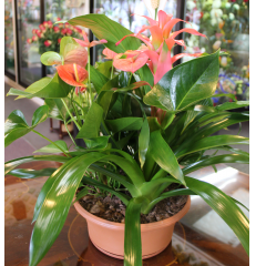DiBella Flowers & Gifts Las Vegas - Tropical Mix Dish Garden Extra Large Assortment of blooming and green tropical plants including Bromeliad and Anthirium