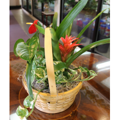 DiBella Flowers & Gifts Las Vegas - Tropical Basket Garden Small Basket of Bromeliad, Anthurium and assorted green plant.