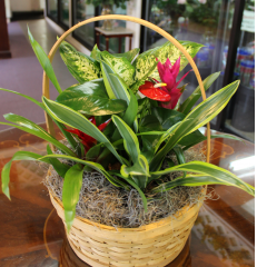 DiBella Flowers & Gifts Las Vegas - Tropical Basket Garden Medium Basket garden including Bromeliads, Anthurium plant and assorted green plants.