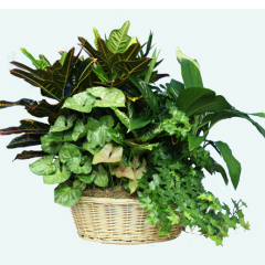 DiBella Flowers & Gifts Las Vegas - Bountiful Green Basket Garden Extra Large Our largest basket garden full of lush green plants.  ** Basket style may vary