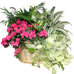 DiBella Flowers & Gifts Las Vegas - Bountiful Blooming and Green Basket Garden Extra Large Our largest basket garden full of lush green plants and blooming azalea.